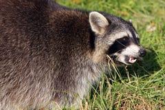 Raccoon / Procyon Lotor Baring It`s Teeth Stock Photography