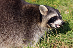 Raccoon / Procyon lotor baring it`s teeth Stock Photography