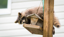 Raccoon (Procyon lotor) on a bird feeder, eastern Ontario.  Masked mammal looks for and finds an easy meal. Friendly animal lovers helping the woodland Royalty Free Stock Photography