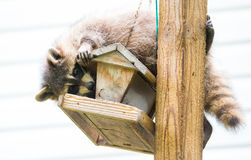 Raccoon - Procyon lotor, on a bird feeder, eastern Ontario.  Masked mammal looks for and finds an easy meal. Raccoon Procyon lotor on a bird feeder, eastern Stock Photo