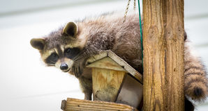 Raccoon (Procyon lotor); in the woods at a feeder. eastern Ontario.  Masked mammal looks for and finds an easy mealP. Raccoon (Procyon lotor) on a bird feeder Stock Photo