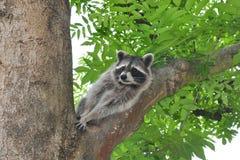 Raccoon (Procyon lotor) Stock Photos