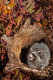 Raccoon (Procyon lotor) Cries Out from Inside Log Stock Images