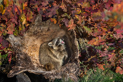 Raccoon (Procyon lotor) Cries Out Inside Log Stock Images