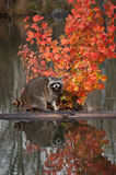 Raccoon (Procyon lotor) Cries Out from Log in Pond Royalty Free Stock Photography