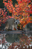Raccoon (Procyon lotor) Cries Out with Reflection Royalty Free Stock Images