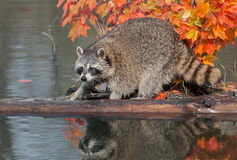 Raccoon (Procyon lotor) Crouches on Log Royalty Free Stock Photos