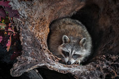 Raccoon Procyon lotor Crouches in Log Stock Photos