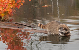 Raccoon (Procyon lotor) Hangs Out at End of Log Stock Images