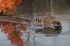 Raccoon (Procyon lotor) Hangs Out at End of Log Royalty Free Stock Image