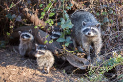 Raccoon, Procyon lotor (harvest) family Stock Images