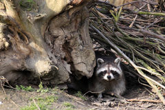 Raccoon / Procyon lotor hiding in the brushwood. Cute attentive raccoon / Procyon lotor with  facial mask sitting in brush-wood at fall / autumn, racoon also Stock Photography