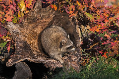 Raccoon (Procyon lotor) in Hollow Log Stock Photos