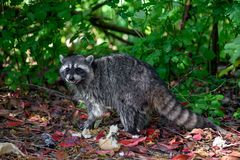 Raccoon Procyon Lotor In The Bush With Some Thrown Away Human Food Waste Like Bread Stock Photos