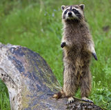 Raccoon Procyon lotor on log Royalty Free Stock Photography