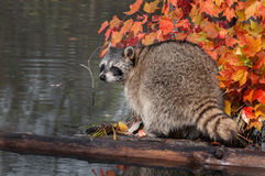 Raccoon (Procyon lotor) Looks Back Stock Photography