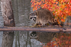 Raccoon (Procyon lotor) Looks Back Stock Images