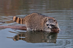 Raccoon (Procyon lotor) Looks Back from End of Log Stock Photography