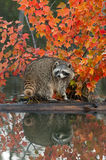 Raccoon (Procyon lotor) Looks Back With Reflection Royalty Free Stock Images