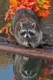 Raccoon (Procyon lotor) Looks Directly at Viewer Royalty Free Stock Images