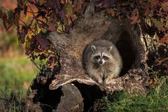 Raccoon Procyon lotor Looks Forward From Within Log Royalty Free Stock Images