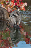 Raccoon Procyon lotor Looks Left at End of Log Royalty Free Stock Photo