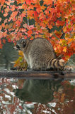 Raccoon (Procyon lotor) Looks Left on Log in Water Royalty Free Stock Photography