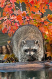 Raccoon (Procyon lotor) Looks Off Log Stock Images