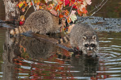 Raccoon (Procyon lotor) Looks Out from End of Log Stock Image