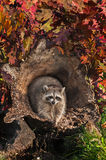 Raccoon (Procyon lotor) Looks Out from Inside Log Royalty Free Stock Photo