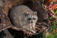 Raccoon Procyon lotor Looks Out from Inside Log Stock Photo