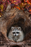 Raccoon (Procyon lotor) Looks Out from Log Stock Images