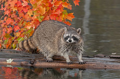 Raccoon (Procyon lotor) Looks Out at Viewer from Log Stock Photos