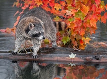 Raccoon (Procyon lotor) Looks Right Atop Log Royalty Free Stock Photos