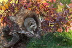 Raccoon (Procyon lotor) Looks Right from Log Royalty Free Stock Photography