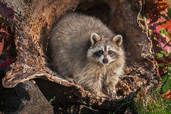 Raccoon Procyon lotor Looks Straight Out from Inside Log Royalty Free Stock Image