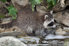 Raccoon Procyon lotor Stock Photos