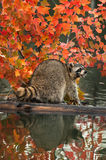 Raccoon (Procyon lotor) Open Mouth on Log in Water Stock Image