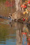 Raccoon (Procyon lotor) With Paws in Water Stock Image