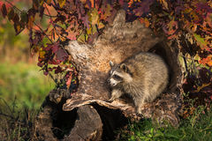 Raccoon Procyon lotor Pounces Forward in Log Royalty Free Stock Photo