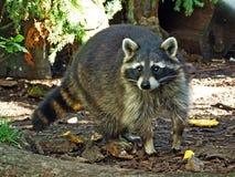 The raccoon Procyon lotor, Racoon, common raccoon, North American raccoon, Der Waschbär or Nordamerikanischer Waschbär royalty free stock image