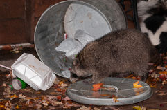 Raccoon (Procyon lotor) Raids Trash Can with Skunk in Background Royalty Free Stock Photo