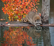 Raccoon (Procyon lotor) Reaches into Water Stock Photography