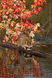 Raccoon (Procyon lotor) Reflections Royalty Free Stock Photo