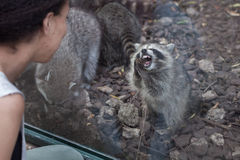Raccoon Procyon lotor Stock Images
