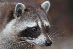 Raccoon (Procyon lotor) Royalty Free Stock Images