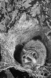 Raccoon (Procyon lotor) Sits Inside Log B&W Stock Photography