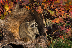 Raccoon (Procyon lotor) Sits in Log Royalty Free Stock Photos