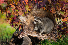 Raccoon Procyon lotor Sits Up in Log Stock Image