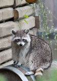 Raccoon (Procyon lotor) sitting on a barrel looking to viewer Royalty Free Stock Photography